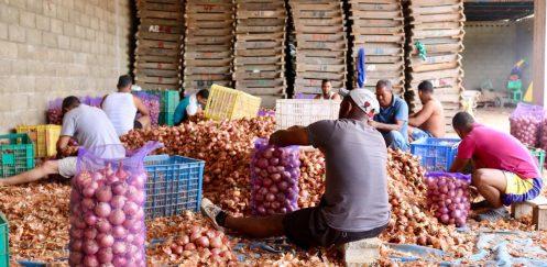 Piden realizar levantamiento antes de importaciones de cebollas