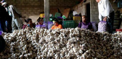 Tardanza en siembra y sequía afectó algunos productores de ajo en Constanza