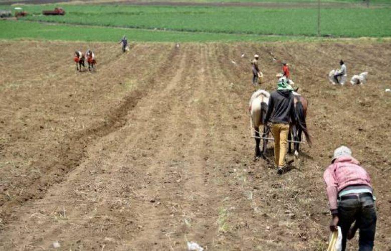 Productores agrícolas inician cosechas en Constanza