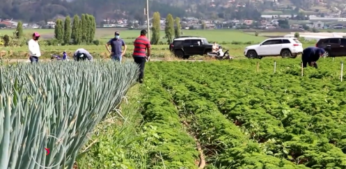Falta de mercados crea incertidumbre a producción agrícola de Constanza
